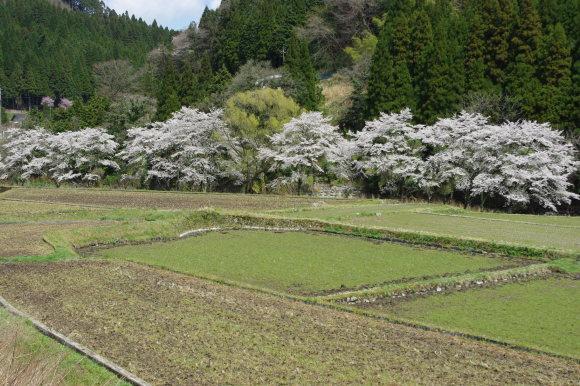 No 141   雪に震える新庄村がいせん桜 (2018年4月8日)_d0341514_20295033.jpg