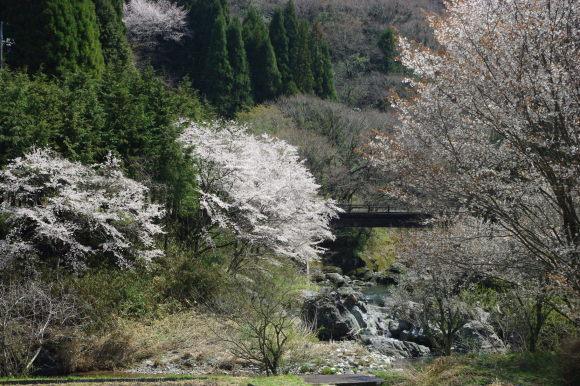 No 141   雪に震える新庄村がいせん桜 (2018年4月8日)_d0341514_20302183.jpg