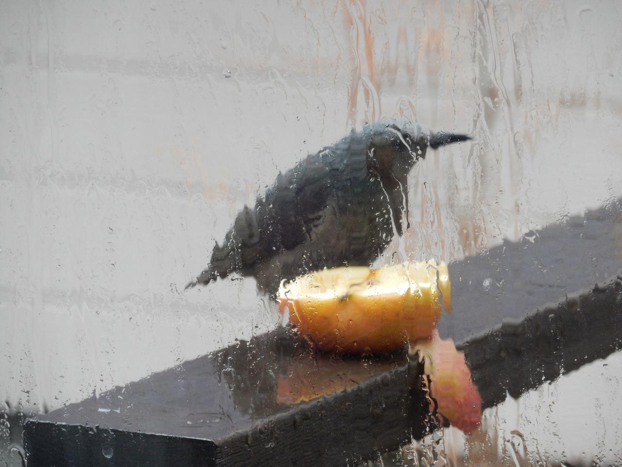 窓辺にやってきたヒヨドリ_c0025115_21261672.jpg