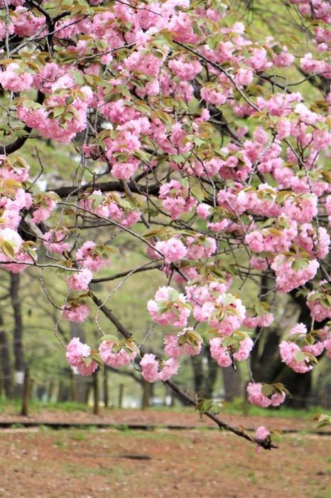 八重桜_d0150720_15112220.jpg