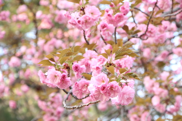 八重桜_d0150720_15114294.jpg