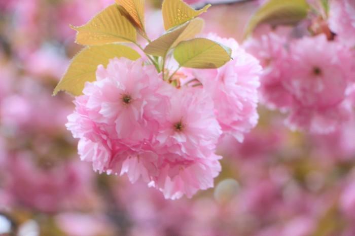 八重桜_d0150720_15115822.jpg