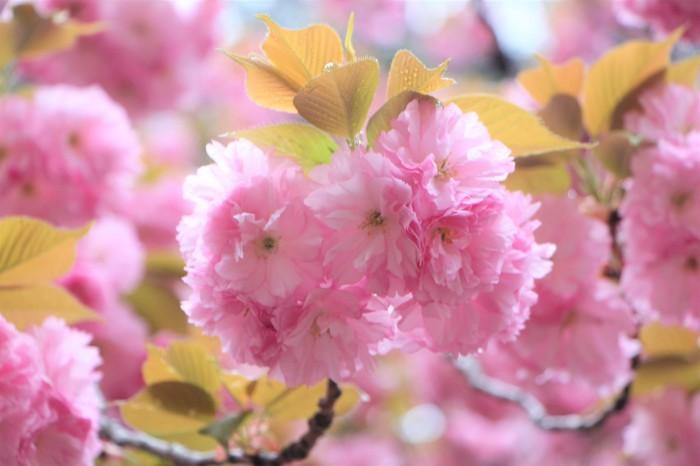 八重桜_d0150720_15121323.jpg