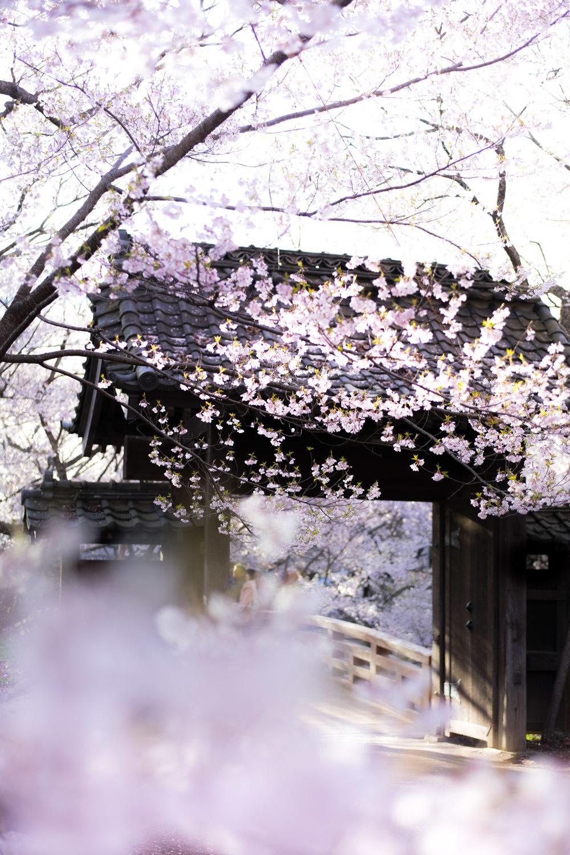 手がかじかむ寒さの桜_c0220824_09032084.jpg