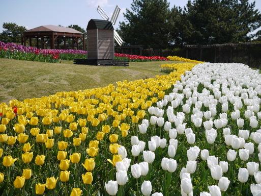淡路島 国営明石海峡公園のチューリップ!_e0359436_08591123.jpg