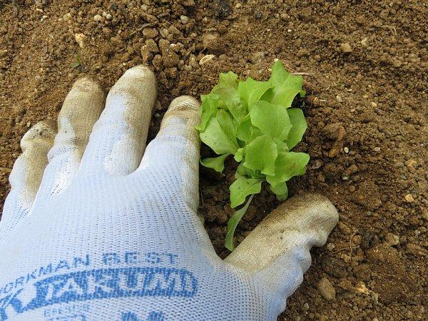 2018年4月21日 サニーレタスの苗を植えました !_b0341140_18165259.jpg