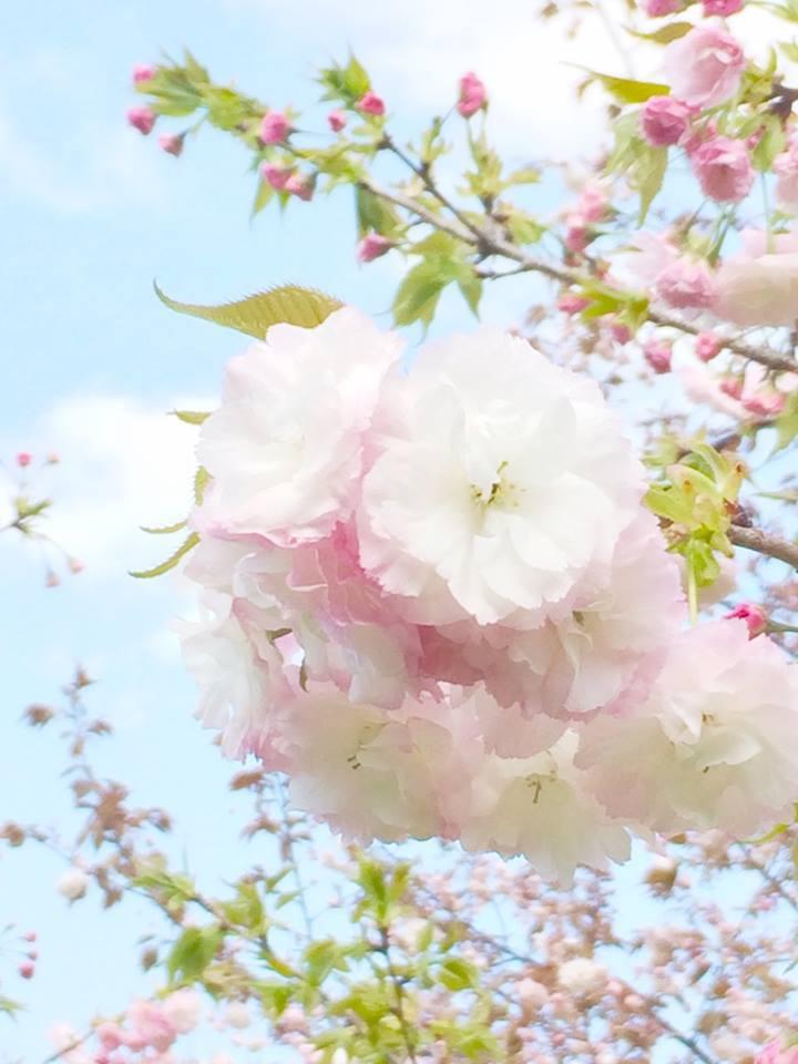 2018桜日記.2_f0206741_17521127.jpg