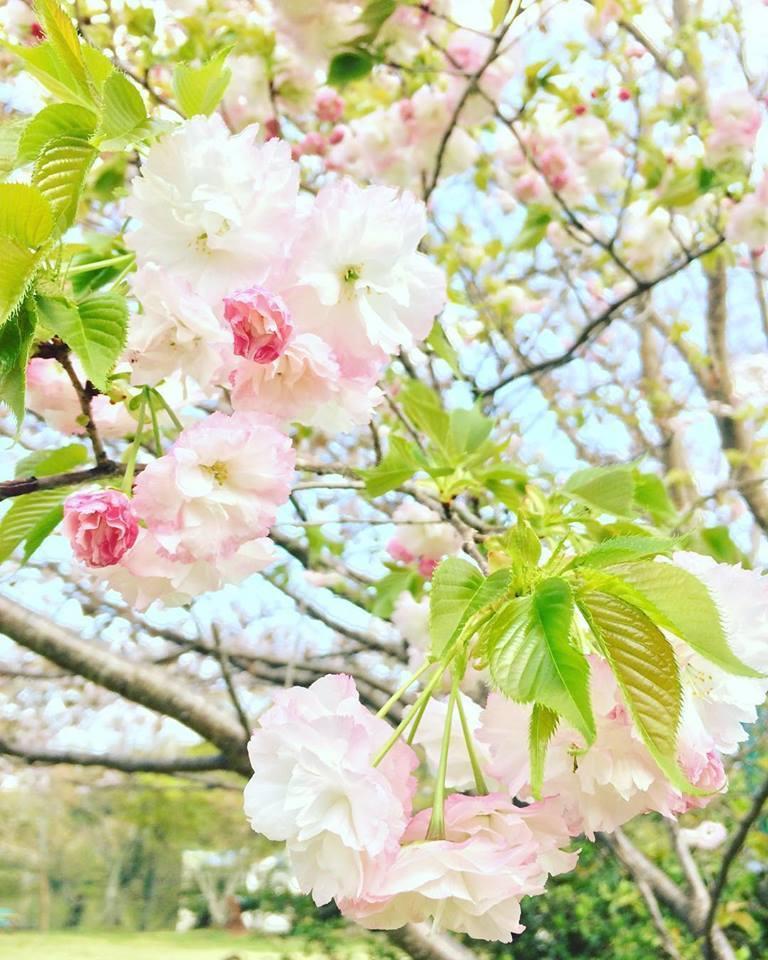 2018桜日記.2_f0206741_17585494.jpg
