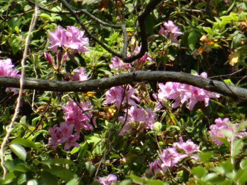 孝子の森の春の花たち_c0108460_17162882.jpg