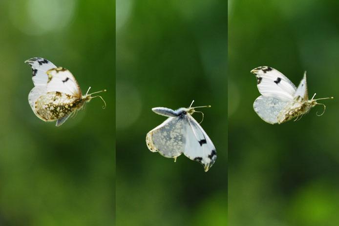 ツマキチョウの飛翔_d0149245_23020423.jpg