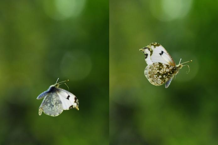 ツマキチョウの飛翔_d0149245_23021090.jpg