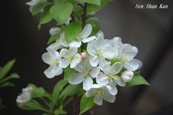 ヒメリンゴの花  2018年4月12日_a0164068_17573123.jpg