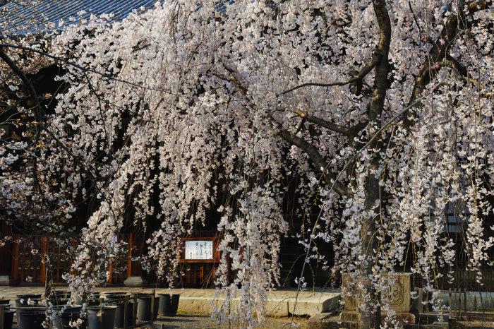 京都 桜2018立本寺_f0021869_00130936.jpg