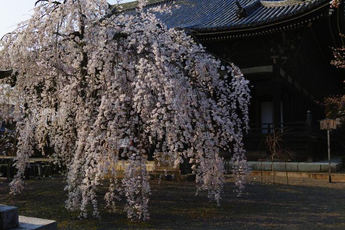 京都 桜2018立本寺_f0021869_00131077.jpg