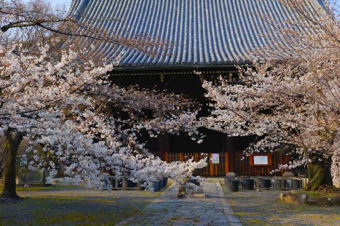 京都 桜2018立本寺_f0021869_00143744.jpg