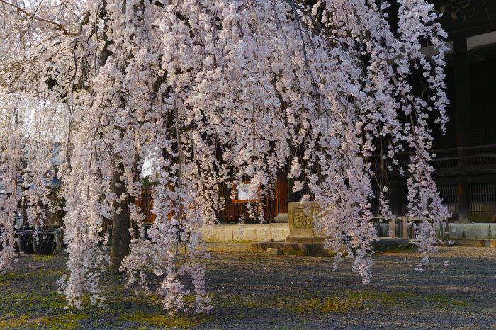 京都 桜2018立本寺_f0021869_00143952.jpg