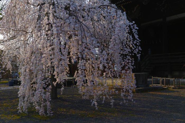 京都 桜2018立本寺_f0021869_00174717.jpg
