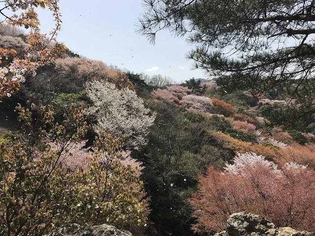 大岩の桜_d0177220_14211640.jpg