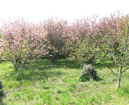 桜に見守られ....種まき_b0137932_18484361.jpg