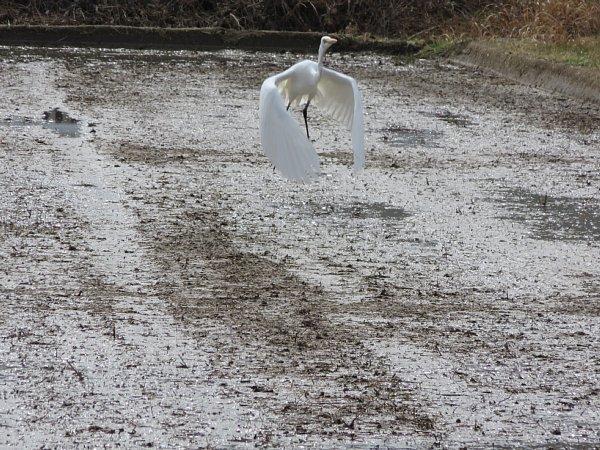 2018年4月23日 苗ステーションに集まる鳥たち_b0341140_15382821.jpg