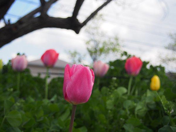 2018年4月24日 咲き誇るチューリップの花_b0341140_20482138.jpg