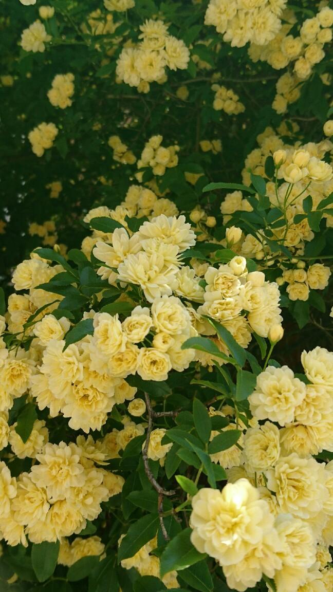 咲きましたよ~_c0172049_11185259.jpg