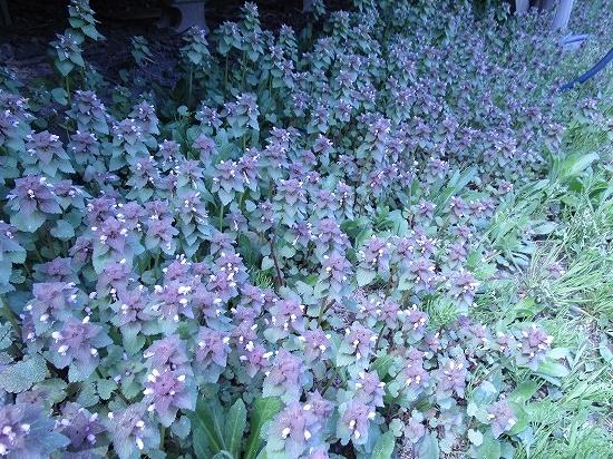 庭のいかり草_c0327752_14211857.jpg