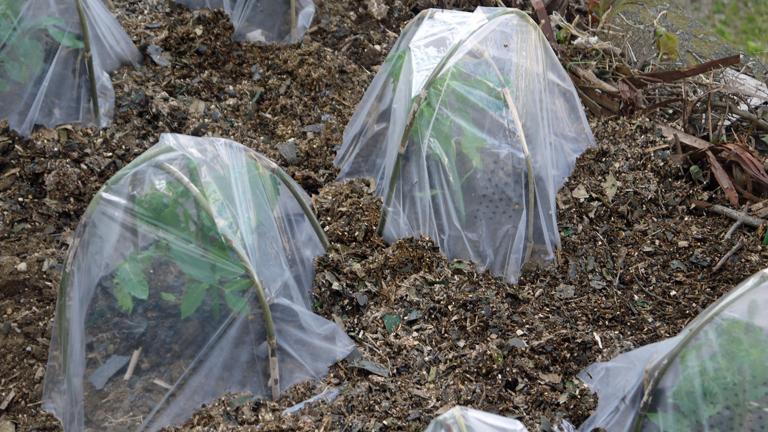 トマト、ナス、ピーマンの苗など4日連続植え付け4・9~12_c0014967_21231636.jpg