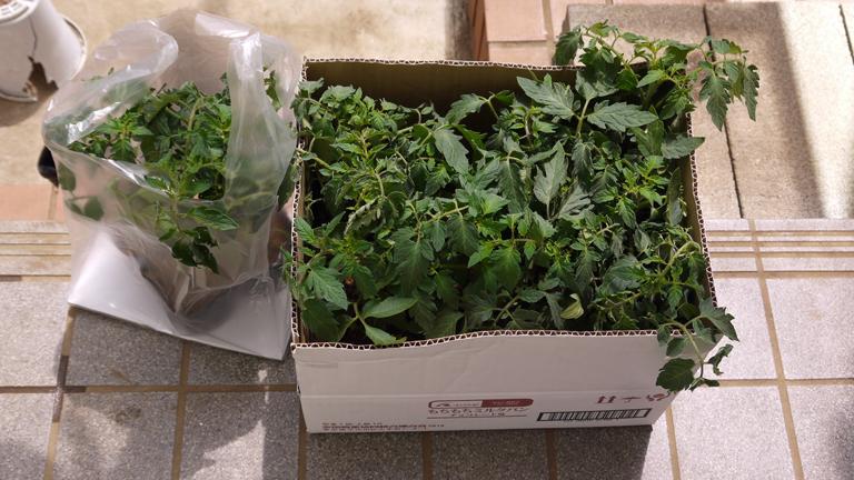 トマト、ナス、ピーマンの苗など4日連続植え付け4・9~12_c0014967_21264151.jpg