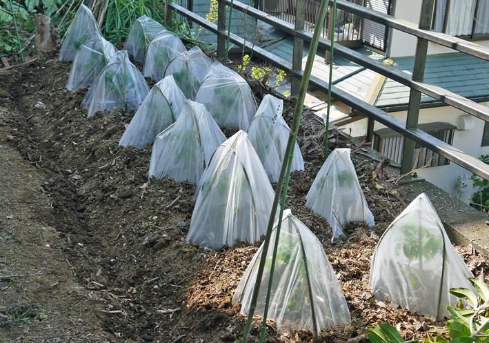 トマト、ナス、ピーマンの苗など4日連続植え付け4・9~12_c0014967_21274259.jpg