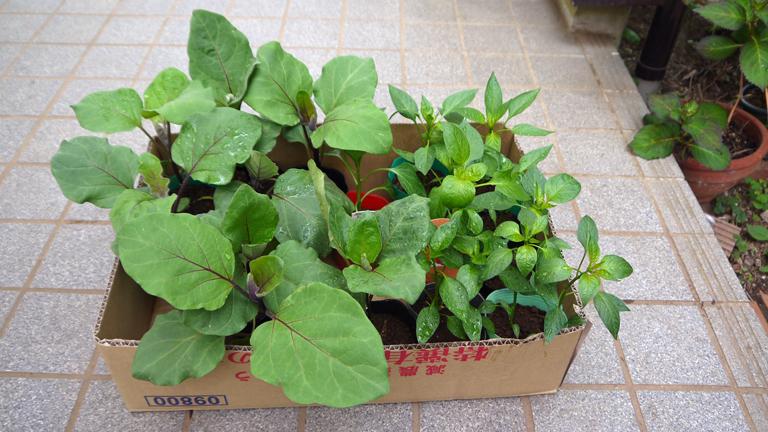 トマト、ナス、ピーマンの苗など4日連続植え付け4・9~12_c0014967_21390126.jpg
