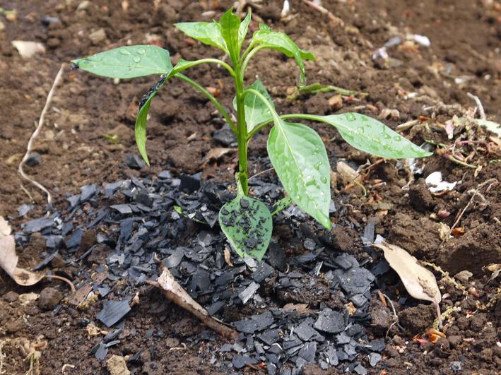 トマト、ナス、ピーマンの苗など4日連続植え付け4・9~12_c0014967_21402578.jpg