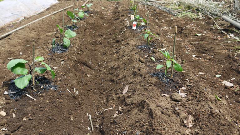 トマト、ナス、ピーマンの苗など4日連続植え付け4・9~12_c0014967_21421523.jpg