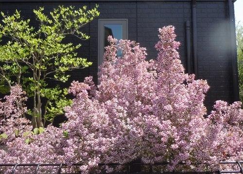路傍の花、樹々の鳥(206) ~ 続・サクラのあとは ・・・ ~ _b0102572_22522621.jpg