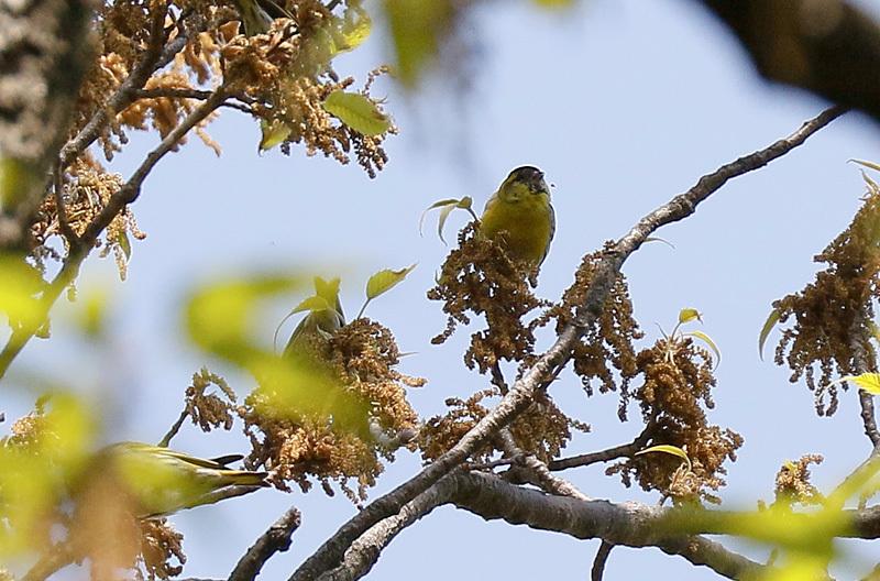 冬鳥のマヒワです。_f0368272_20243488.jpg