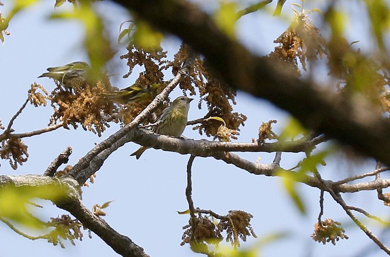 冬鳥のマヒワです。_f0368272_20250701.jpg
