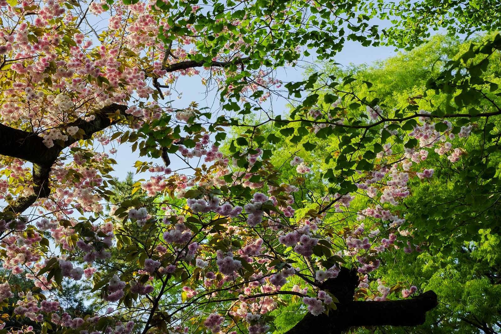 180413一橋大学キャンパスの八重桜(4)_e0367501_13501300.jpg
