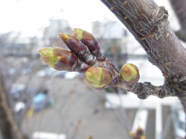 札幌の桜開花500度の法則_b0198109_18230476.jpg