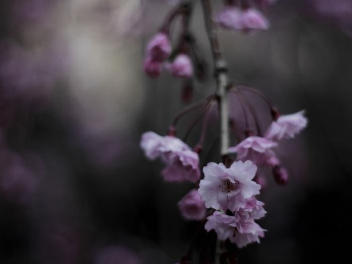 国上寺のしだれ桜_e0169421_21221032.jpg