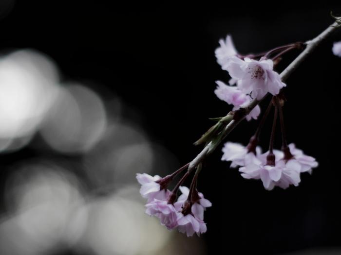 国上寺のしだれ桜_e0169421_21221122.jpg
