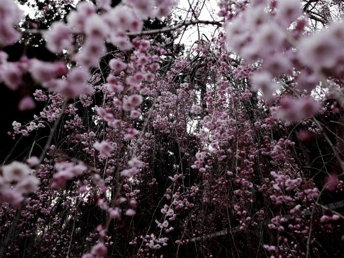 国上寺のしだれ桜_e0169421_21250364.jpg