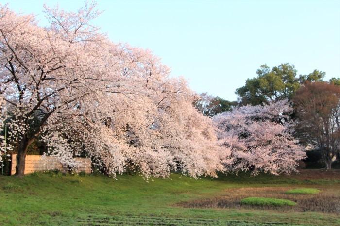 桜で繋がる人々の輪 もっと広がれ~!!_d0150720_16393481.jpg