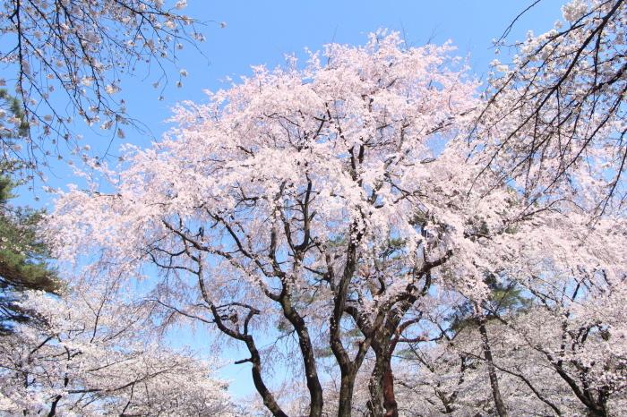桜で繋がる人々の輪 もっと広がれ~!!_d0150720_16395628.jpg
