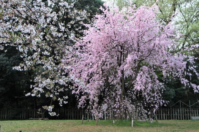 桜で繋がる人々の輪 もっと広がれ~!!_d0150720_16402937.jpg