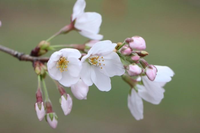 桜で繋がる人々の輪 もっと広がれ~!!_d0150720_16411896.jpg