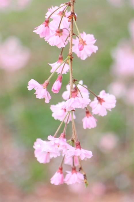 桜で繋がる人々の輪 もっと広がれ~!!_d0150720_16413660.jpg