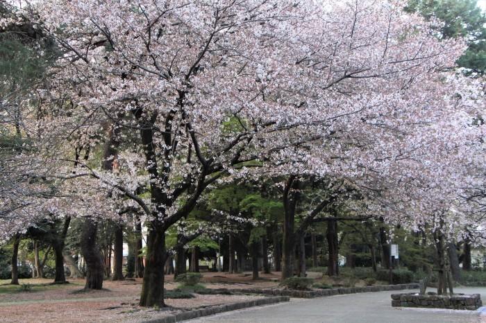桜で繋がる人々の輪 もっと広がれ~!!_d0150720_16415707.jpg