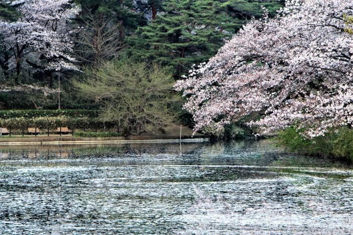 桜で繋がる人々の輪 もっと広がれ~!!_d0150720_16422304.jpg