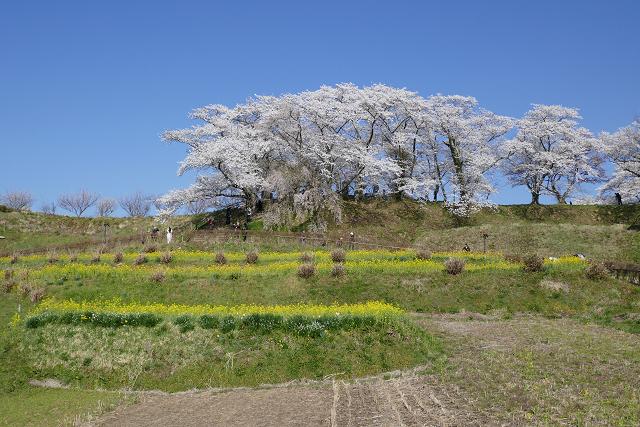 桜 (三春、花見山)_b0249247_09304153.jpg