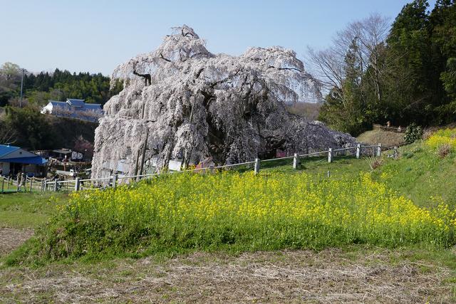 桜 (三春、花見山)_b0249247_09304710.jpg